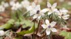米原市大久保で2月のお花見は白く可憐な「セツブンソウ」が綺麗です