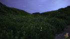 伊吹山山頂で見る神秘のホタル観賞!ヒメボタルが7月上旬から中旬に見頃です